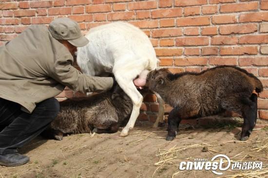 秦岭野生动物园小羚牛满月 从小靠喝羊奶长大--陕西