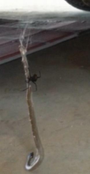 澳洲蜘蛛大戰毒蛇 蛇被蛛絲拖進巢穴