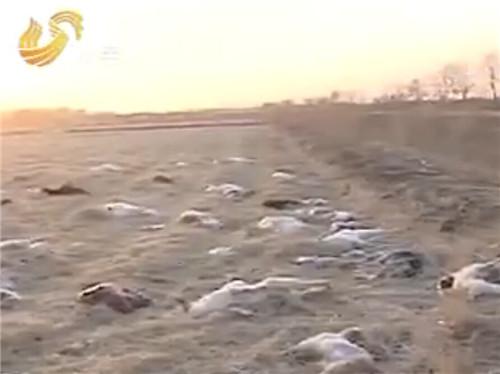 東營劉芳蘭家的羊吃了下藥的稻谷,全部死亡。(視頻截圖)