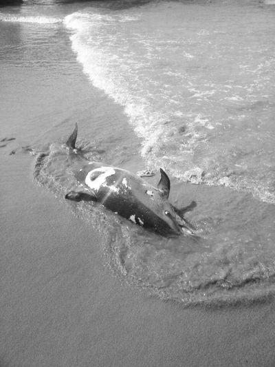 陵水角蜈支洲岛后海海滩为什么都有死海豚?