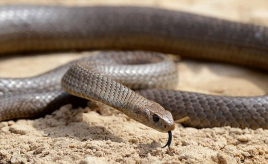 澳洲蜘蛛大战毒蛇 蛇被蛛丝拖进巢穴