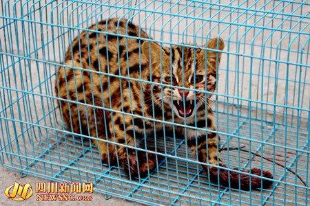 四川广元村民当街卖野生豹猫 血淋淋惨不忍睹(图)