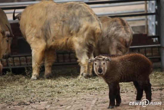 秦岭野生动物园添了4个羚牛宝宝