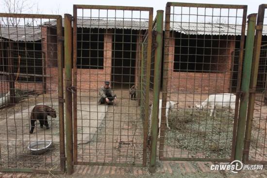 秦岭野生动物园添了4个羚牛宝宝 活泼可爱又健康