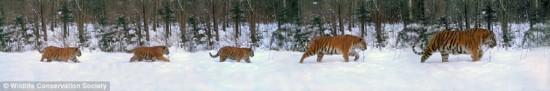 東北虎集體出行的畫面