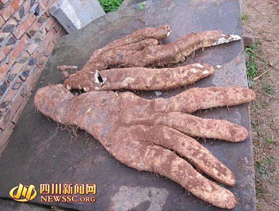"""四川大爷种出奇特蔬菜长4根""""大手指"""" 重29.2斤"""