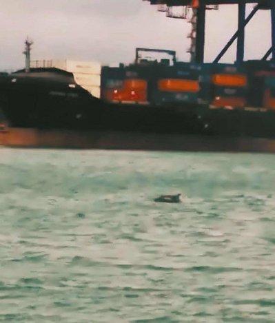 海豚群误闯台北港海巡队护送出海(图)