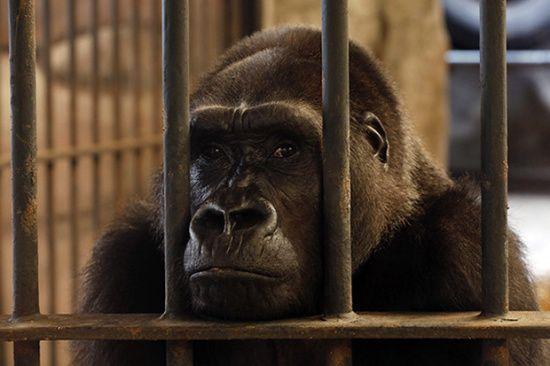 """泰""""空中動物園""""因環境惡劣關門:大猩猩被關27年"""