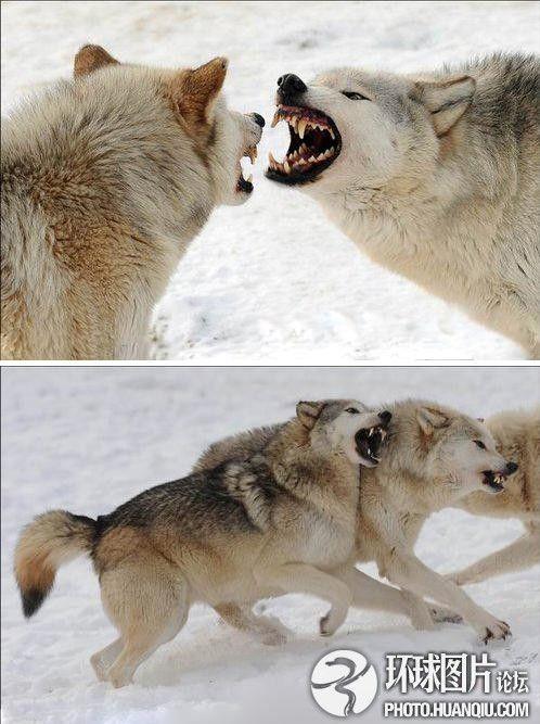英野生动物园雪地群狼大战巨齿獠牙尽现