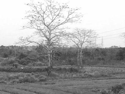 游客参团前往昌江赏木棉 花期结束只见树枝