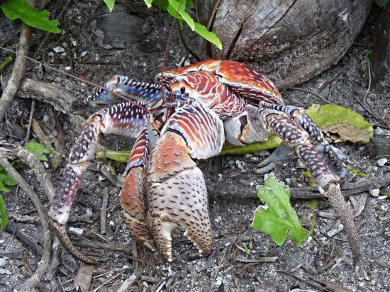 世界止最大螃蟹图片_最大螃蟹