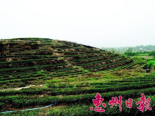 ▲惠州岩茶生长在岩石边。