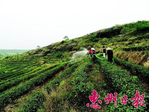 ▲白盆珠岩茶园工人在给茶树浇水,希望能尽快长出春芽。