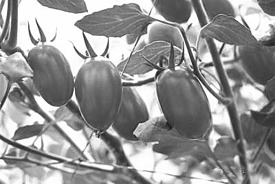 专家:海南圣女果均为常规育种 可以放心吃