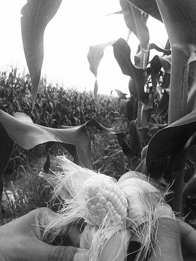 东方八所小岭村5万吨玉米滞销 农户叫苦不迭