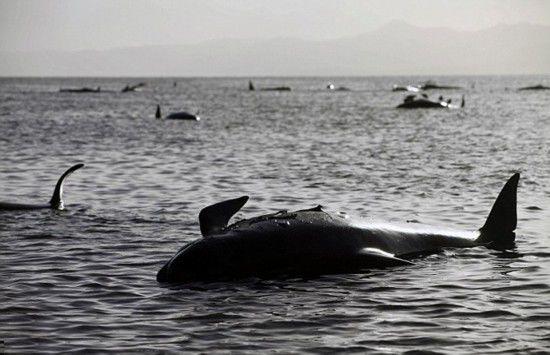 200头鲸鱼海滩搁浅140头已死亡 盘点罕见怪异动物