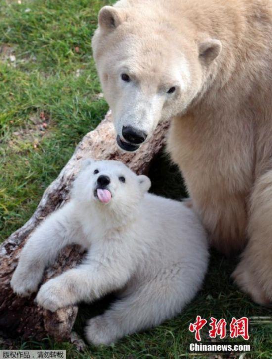 北极熊母子性感晒太阳顽皮小熊萌翻少女--日本美草地陕西图片搜索臀众人图片
