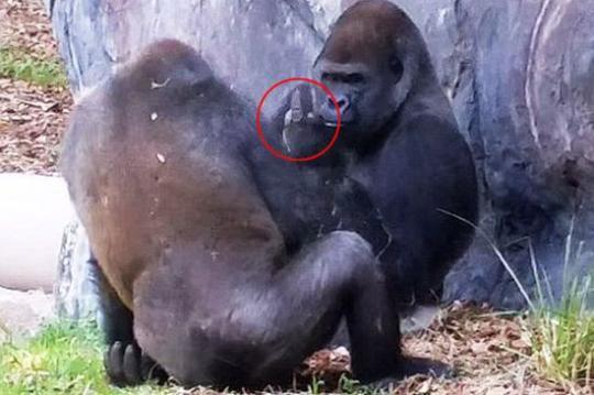 笑喷!美公园猩猩朝顽皮同伴竖中指