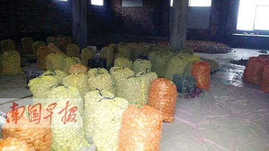 在新圩镇河村村委会仓库里堆积的马铃薯,部分已经腐烂(记者骆南华