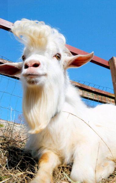 """日本山口县拥有""""飞机头""""发型的山羊""""鱼糕""""(网页截图)"""