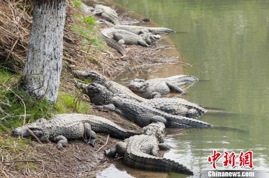 浙江长兴五千多条扬子鳄陆续出洞惬意享受日光浴