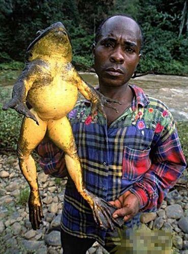 非洲美食:一只青蛙撑死你 非洲动物奇特惊人心