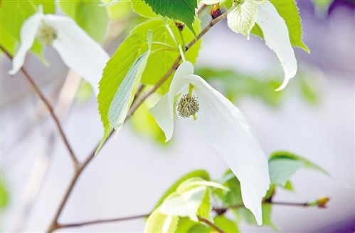 """南山植物园""""活化石"""" 珙桐首次开花"""