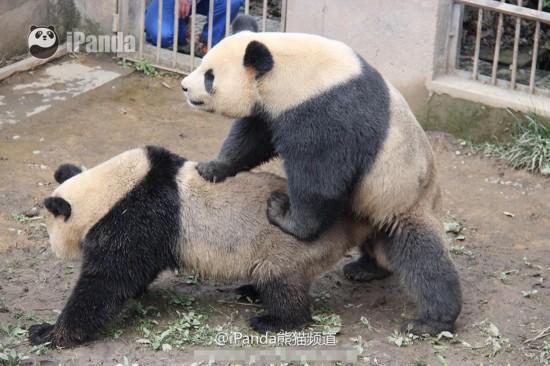"""四川大熊猫自然交配时间破纪录 被称""""持久哥"""""""