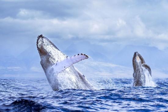摄影师记录两只座头鲸跃出海面共舞奇景