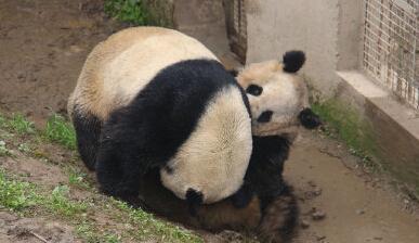 大熊猫交配实况全球首播 18分03秒破今年纪录