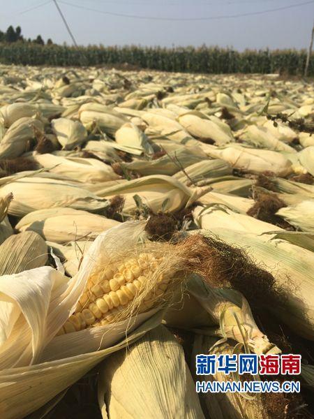 海口大润发出售东方滞销玉米 8毛一斤引抢购