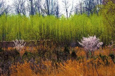 粉白色桃花从柳树和芦苇中脱颖而出.