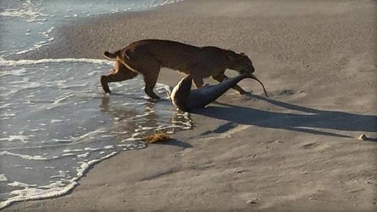 山猫海中活捉鲨鱼摄影师拍下精彩瞬间(图)