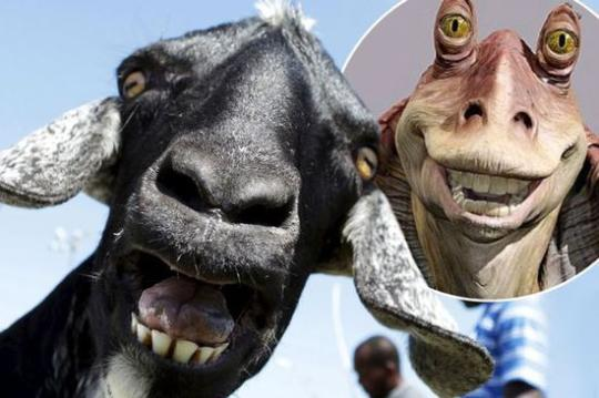 撞脸!多巴哥山羊长相酷似《星球大战》中外星人