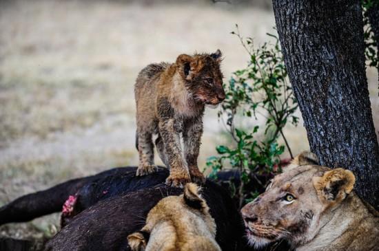 南非动物园幼狮暴露杀手天性--福建频道--人民网