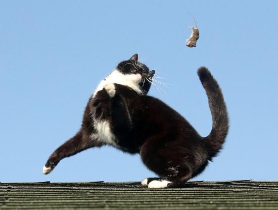 现实版《猫和老鼠》:英建筑顶上演猫戏鼠大戏【组图】【5】