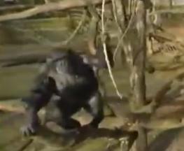黑猩猩手持树枝击落摄像无人机拿起自拍(图)