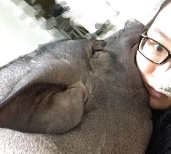 北京女子与170斤宠物猪同被窝睡觉 瞬间颠覆三观