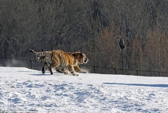 组图:大老虎被小鸟耍个四脚朝天