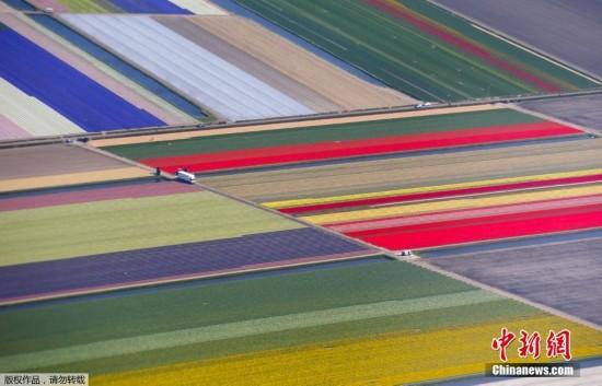 航拍世界最大郁金香田 似彩色地毯美不胜收
