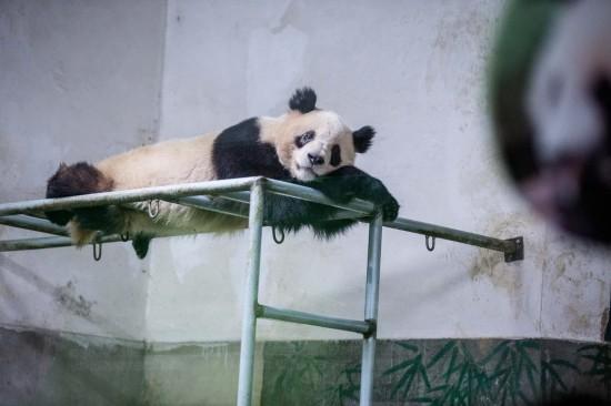 杭州大熊猫展现高难度睡姿萌倒众游客