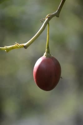 阿里山树蕃茄果实如同鸡蛋吃法特别(图)