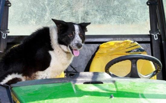 """英国牧羊犬""""开""""拖拉机上高速路 横冲直撞致大堵车"""