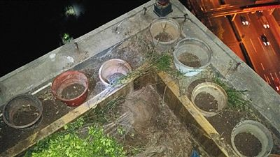 昨晚,张必清发给记者的图片中显示,楼顶栽种的小叶黄杨已被拔掉。