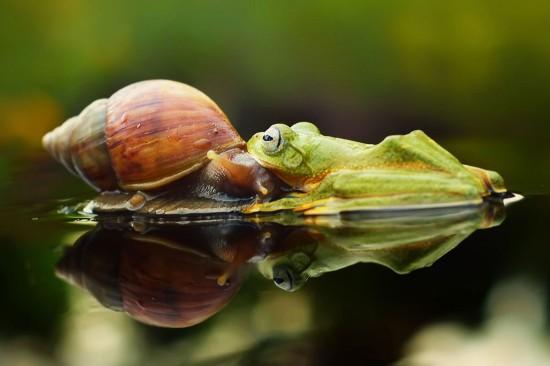 印尼摄影师抓拍到树蛙骑蜗牛萌照