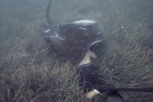 潜水员遭遇巨型�鱼温柔啃咬 身体完全被遮住