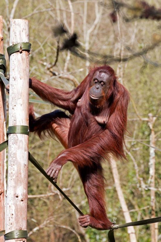 英国动物园红猩猩表演走钢丝绝技引围观