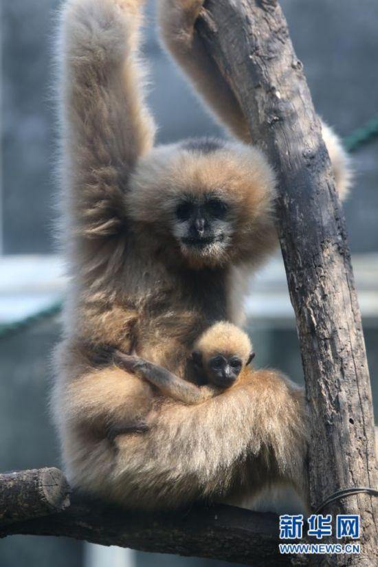 济南动物园珍稀金丝猴白颊长臂猿幼仔亮相