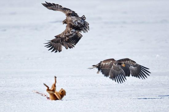 日本美食红狐巨鹰争夺组图鹿骨(大战美味)类主持稿模拟高清单人图片