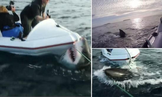 新西兰6米长大白鲨突袭小船惊险画面